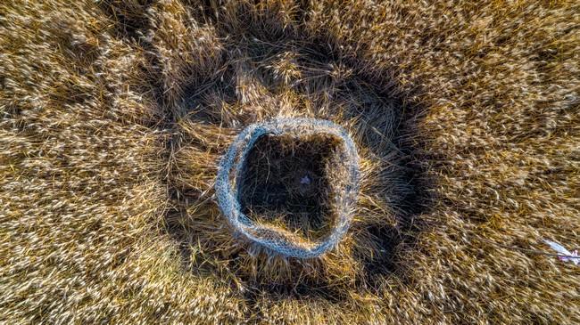 Protection nid de Busard cendré en Auvergne
