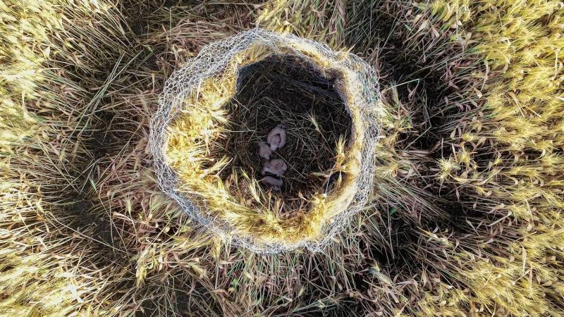 Auvergne : Sauvegarde des Busards Cendrés